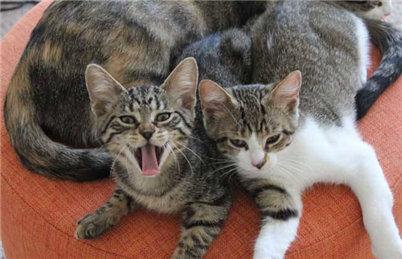 狸花猫和虎斑猫怎么去区分?